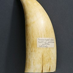 Whaleman Scrimshawed and Polychrome Sperm Whale Tooth